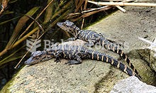 Young American Alligators basking