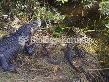 Alligator nest and young in Florida
