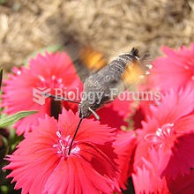 A day-flying Hummingbird Hawkmoth drinking nectar from a species of Dianthus