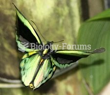 Cairns Birdwing (Ornithoptera euphorion): Australia's largest endemic butterfly