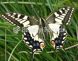 Old World Swallowtail of the endemic Great Britain subspecies britannicus