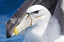 Portrait of a Shy Albatross. Note the large, hooked beak and nasal tubes.