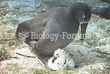Albatrosses brood young chicks until they are large enough to thermoregulate.