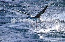 This Black-browed Albatross has been hooked on a long-line.