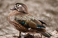 Female Wood Duck at Crystal Springs Rhododendron Garden, Oregon, U.S.