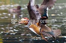 Male mandarin duck flying in Dublin, Ireland
