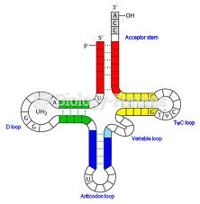 Transfer RNA (tRNA) Structure