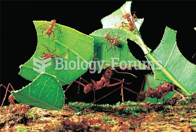 Leafcutter ants carrying leaf fragments back to the nest where they will be processed to create a su