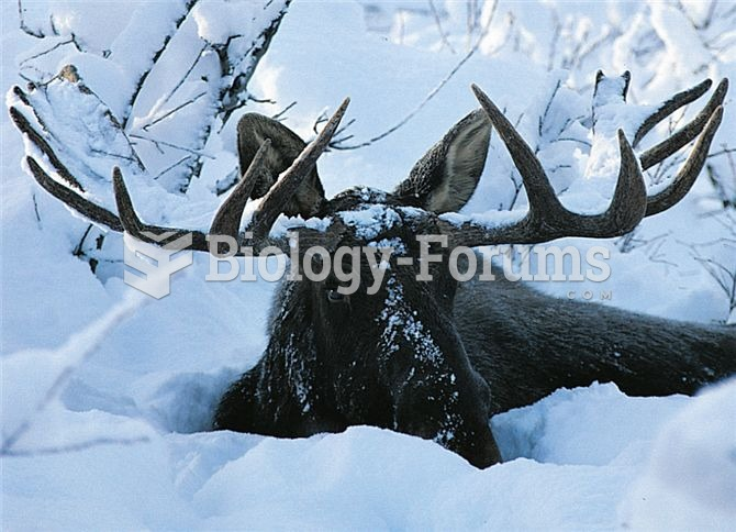 This moose exploits the twigs and buds of woody plants for the food it needs to survive a cold north