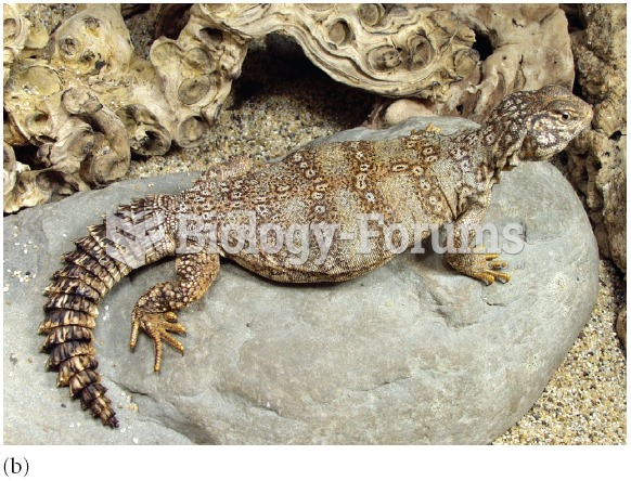Female individuals of the banded Uromastyx, Uromastyx flavofasciata, are different colours. Most nat