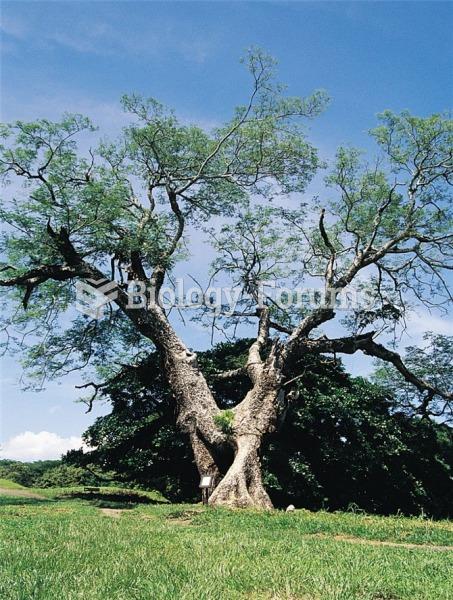 A guanacaste tree, Enterolobium cyclocarpum, growing in Costa Rica. Guanacaste trees, which produce