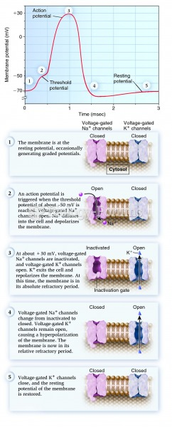 Changes that occur during an action potential.