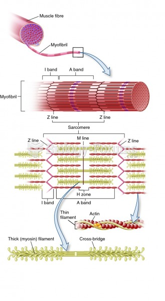 Sliding filament mechanism of muscle contraction.