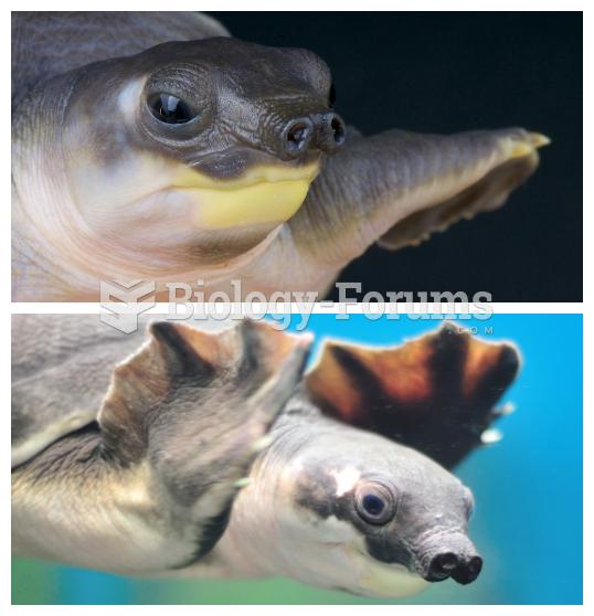 Pig-nosed turtle (Carettochelys insculpta)
