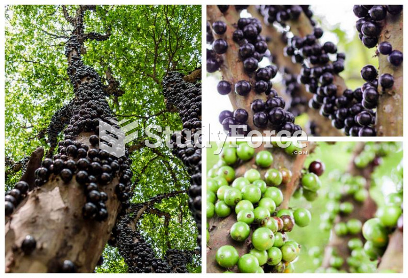 Jaboticaba tree trunk