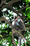 As a result of sharing its environment with humans, this macaque had the opportunity to steal an ast