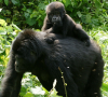 Young gorilla riding on mother