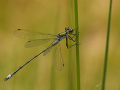 """A male Lestes dryas in the """"spread-winged"""" posture that gives the family its common name"""