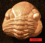 Phacopid trilobite, Devonian age, Ohio, United States