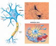 Two main types of nerve cells.