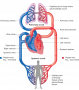 A schematic of the circulatory system illustrating the pulmonary circulation picking up oxygen from
