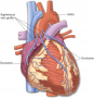 Coronary artery bypass graft (CABG). The grafts are often obtained from the patient's saphenous vein