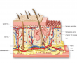 Skin structure, including the three layers of the skin and the accessory organs: sweat gland, sebace