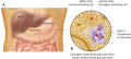The pancreas. This organ sits just below the stomach and is both an exocrine and an endocrine gland.