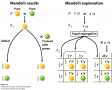 A single-gene model explains Mendel's ratios