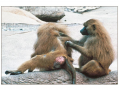 Dominance relationships among individuals play an important role in many primate societies.