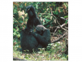 Chimpanzees in nearby Mahale National Park practice a different grooming style: they clasp hands whi