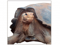 Darwin observed that tortoises on islands that are arid tend to have saddle-shaped shells, allowing