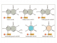 Transfer RNAs (tRNA) carry amino acids to the ribosome to be synthesized into proteins.