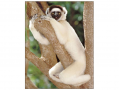 The lemurs rediated into a variety of forms, including the sifaka.