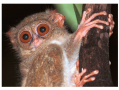 The tarsier is a haplorhine, and may represent an evolutionary bridge between lower and higher prima