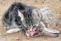 Young feral cat eating a cottontail rabbit.