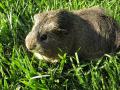 A silver agouti guinea pig eating grass