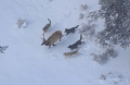 Single bull elk are vulnerable to predation by wolves.