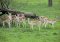 Fallow deer at Avon Valley Country Park, Bristol, England