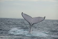 A tail from a different individual - the tail of each humpback whale is visibly unique.