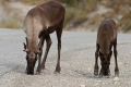 Caribou licking salt from roadway in British Columbia