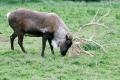 The size of the antlers play a significant role in establishing the hierarchy in the group