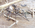 The wolf spider, Lycosa godeffroyi, is common in many areas of Australia. In this family of spiders,