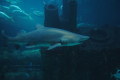 Sand tiger next to a German U-boat in the Pine Knoll Shores Aquarium