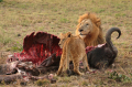 The tolerance of male lions towards the cubs varies. They are, however, generally more likely to sha