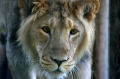 A young male Asiatic lion