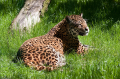 While numerous subspecies of the jaguar have been recognized, recent research suggests just three. G