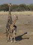 Male giraffe mounting a female. Only dominant males are generally able to mate.