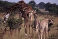 Mother giraffe and calves feeding. It is mostly the females that raise young, and they may gather in