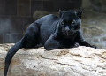 A melanistic jaguar at the Henry Doorly Zoo. Melanism is the result of a dominant allele and remains